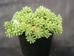 Sedum 'China Doll' (23)